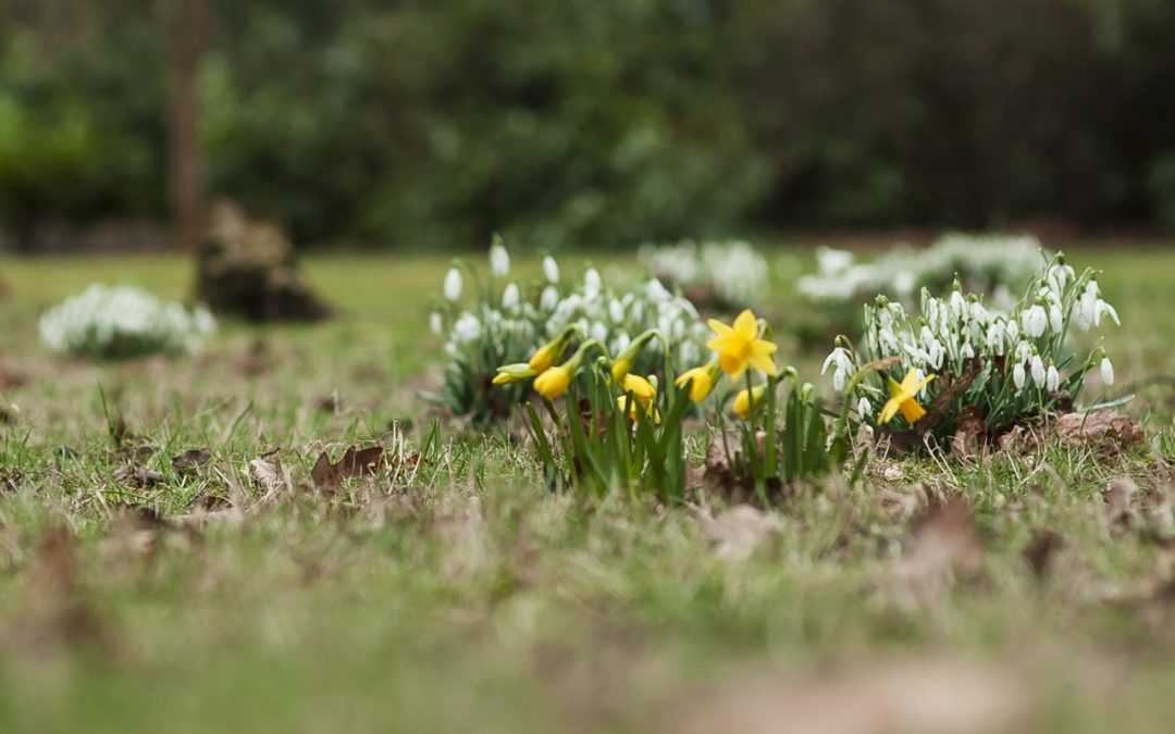 woodland floor with daffodils and snowflakes