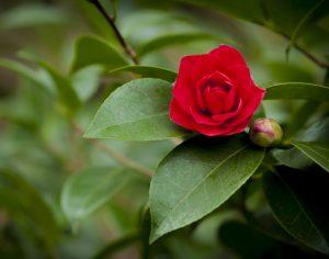 Camellia Claremont Gardens