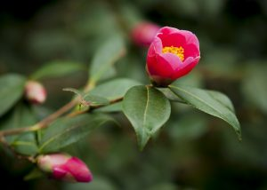 Camellia flowering in the Woodland Gardens