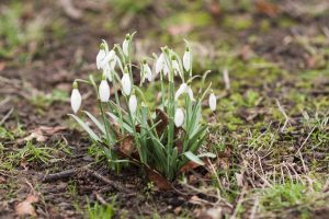 Snowdrops on the woodland floor in spring